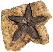 The Fossil of a Starfish