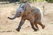Chubby Elephants
