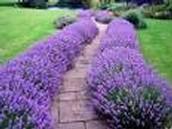 Perennial or Annual