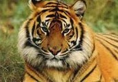 My Animal is a Tiger