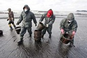Many people cleaning the oil spills