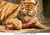 Tigers Diet
