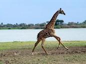 giraffe galloping