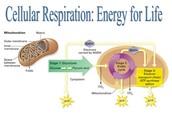 Celluar Respiration: Energy for life