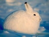 Artic Hare