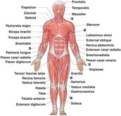 What does the Muscular System do?