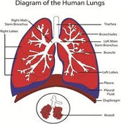 What is a lung, you may ask?