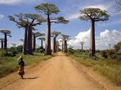 baobab in africa
