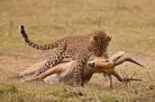 amur leopards diets
