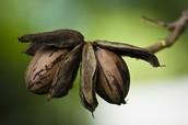 Pecan Plants