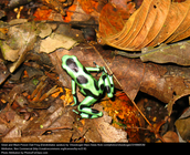 Poison frog C