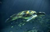 צב ים ירוק