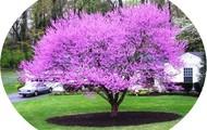 Rose Bud Tree