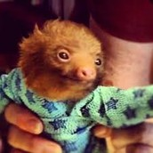 An Infant Sloth