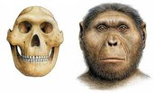 Crani de mascle