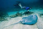 Belize Hol Chan Marine Reserve and Shark Ray Alley Snorkel Tour