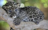 This is a picture of a newborn leopard, resting in a tree to hide from predators.