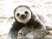 Pale-Throat-ed Sloth