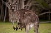 kangaroo diet: