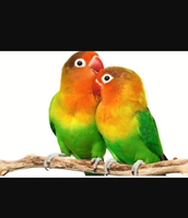 Male and female lovebirds