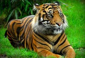 Bengal Tiger endangered