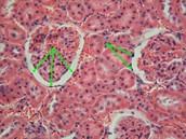 Epithelial tissue form