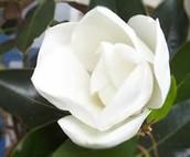State Flower- Magnolia