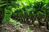 Agricultura de plantación: