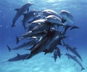 What are some identification characteristics of dolphins?