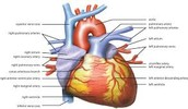 how does the human Heart work