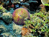 Razor coral And green bud coral