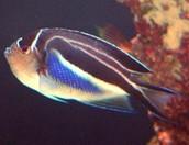 Bellus lyretail angelfish