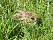 A hurt rabbit I cared for