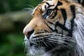 Tiger PAC Purpose