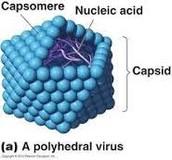 Polyhedral Virus
