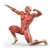 THE MUSCULER SYSTEM