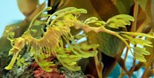 Yellow Leafy Sea Dragon