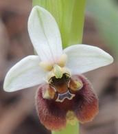 Orphrys Levantina