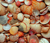 Seashell Searching