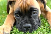 This dog from the type of Boxer