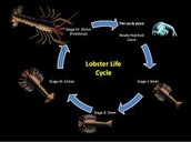 The lobster life cycle