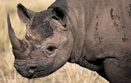 Female rhinoceros