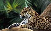 This is a Leopard that lives in the Amazon Jungle.