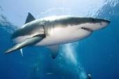 tiburo blanco