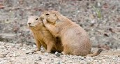 Prairie Dog Discovery
