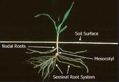 Corn roots.