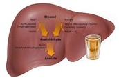 What does alcohol do in the liver?