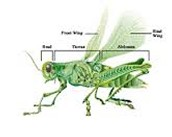 Integumentary System of a Grasshopper