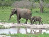 Elephants of Botswana