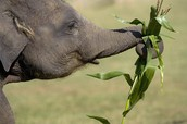 Picture of Asian Elephant
